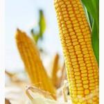 Кукурудза СИ Респект