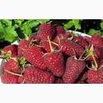 Продам ягоды малины (урожай 2017) оптом с поля, Днепропетровская обл