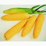 Гибрид кукурузы Любава 279 МВ от производителя