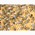 Продаём чистопородные плодные пчеломатки карпатских пчел