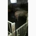 Продам свиней живым весом 200 галов