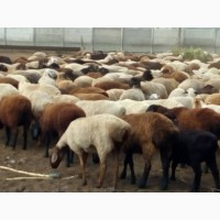 Продам курдючных баранов