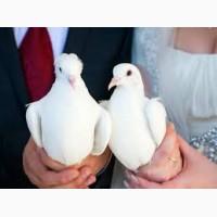 Продам почтовых голубей на свадьбу