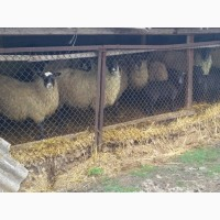 Продам овец, ягнят Романовской породы 70 голов
