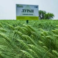 Семена озимого ячменя Луран (Чехия), 1 репр