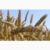 Озимая пшеница Нива Одесская семена (элита, 1 репрод), урожай 2019 года
