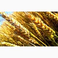 Куплю зернові всіх видів