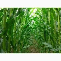 ОРЛИК ДН ФАО 260 семена кукурузы