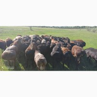 Продам баранов и овец, гиссарская порода