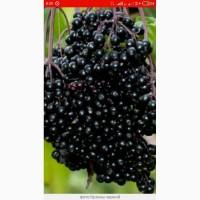 Купим по всей Украине цвет бузины, сухую ягоду бузины