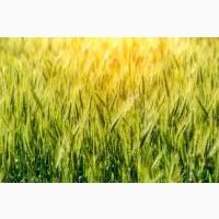 Зернозакупка: закуповуємо Ріпак