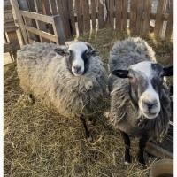 Продажа овец и Баранов