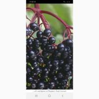 Закупаем ягоду БУЗИНЫ 2021 г. любое количество в Днепропетровской и Запорожской обл