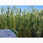 Безостая озимая пшеница Зира