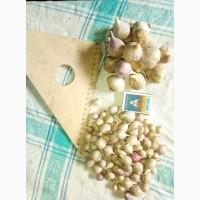Продам насіння часнику сорту Любаша, Дюшес повітряна кулька (воздушка), однозубка зубок