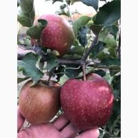 Продам яблоки урожая 2017. Лучших сортов