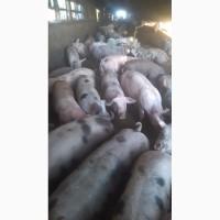 Срочно продам беконых свиней