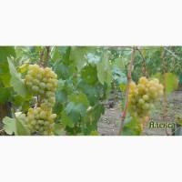 Продам черенки элитных сортов винограда недорого