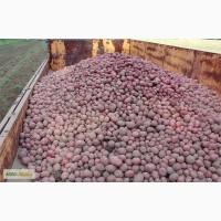Продам картошку в большие кол-вах Продам товарный и посадочный картофель хорошего качества