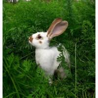 Кролики, кролі - тушками та живою вагою, продам