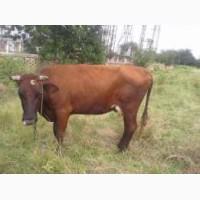 Купуємо корови та молодняк на забій