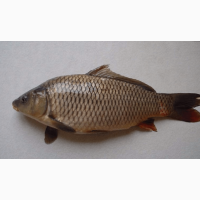 Куплю живую речную рыбу