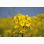 Виробник пропонує насіння високопродуктивних, зимостійких гібридів озимого ріпаку