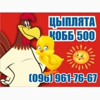 Цыплята бройлер КОББ-500