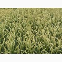 ПшеницаТесла