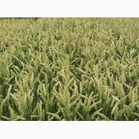 Канадская пшеницаТесла