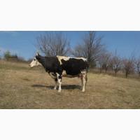 Продам корову Холмогорской породы
