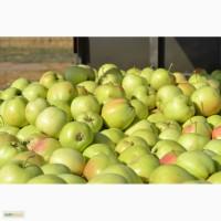 Продаем яблоки из Беларуси