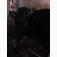 Продам корову срочно Очень хорошая