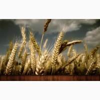 Покупаем Пшеницу.Новый урожай