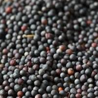 Рапс купляємо, без посередників великими об#039;ємами (ГМО також)