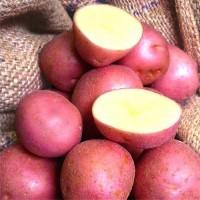 Картопля Крістіна фасовка 5кг, 25кг Голландія