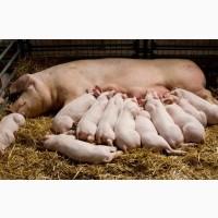 Продам свиноферму