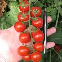 Закупаем томат черри, помідор чері