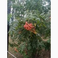 Закупаем ДОРОГО свежую ягоду рябины и шиповник