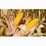 ОРЖИЦЯ насіння кукурудзи