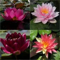 Німфеї (водяні лілії, латаття, кувшинки), прибережні та водні рослини для водойм