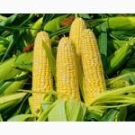 Соколов 407 МВ гибрид на силос со стабильной урожайностью в засуху