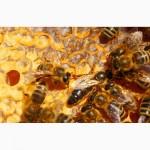Пчеломатка - Карпатка(2017) - года вывода