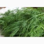Продам тепличную петрушку, укроп, кинзу, базилик, сельдерей и много другой зелени оптом
