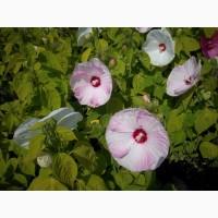Продам гібіскус болотний (травянистий) оптом
