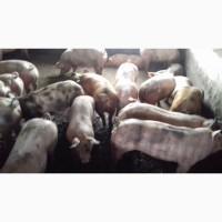 Оптовая и розничная продажа свиней живым весом