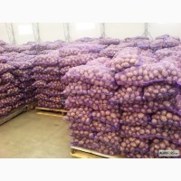Продажа товарного картофеля Начали копать товарный картофель Белароза и Гренада