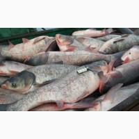 Продам живую бредневую рыбу