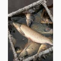 Живая рыба АМУР