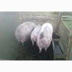 Продажа свиней трёх породный гибрид